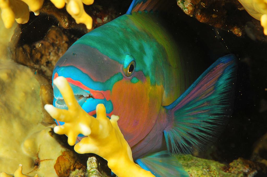 דג תוכי