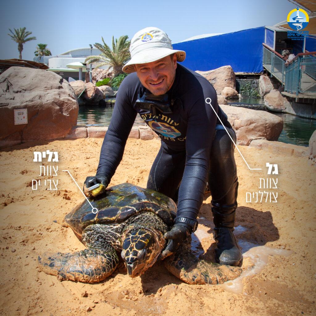 צוללן מחזיק צב ים על חול